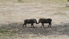 The common warthog Phacochoerus africanus stock video footage