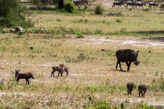 Common warthog Phacochoerus africans in the plane. The common warthog Phacochoerus africanus, wild member of the pig family Suidae found in grassland, savanna royalty free stock photography