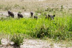 Common warthog Phacochoerus africans in the mud. The common warthog Phacochoerus africanus, wild member of the pig family Suidae found in grassland, savanna, and royalty free stock image