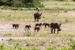 Common warthog Phacochoerus africans in the plain. The common warthog Phacochoerus africanus, wild member of the pig family Suidae found in grassland, savanna stock image