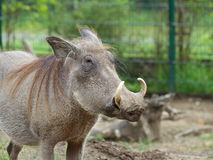 Common warthog portrait Royalty Free Stock Images
