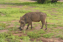 Common Warthog in the savannah Royalty Free Stock Photography
