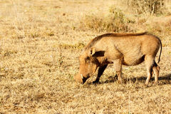 The common warthog sniffing the grass. In the field Royalty Free Stock Photography