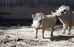 Common Warthog Royalty Free Stock Photos