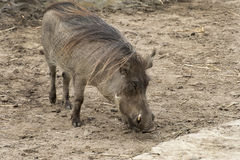 Common Warthogs Stock Photo