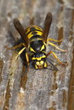 Common wasp. The common wasp, Vespula vulgaris, is a yellowjacket wasp found in much of the Northern Hemisphere, and introduced to Australia and New Zealand. It Royalty Free Stock Image