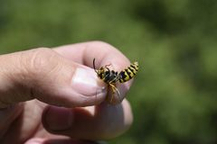 Common wasp on pinched fingers royalty free stock image