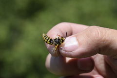 Common wasp on pinched fingers Royalty Free Stock Photos