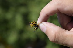 Common wasp on pinched fingers Stock Photos