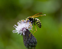 The common wasp, Vespula vulgaris Royalty Free Stock Image