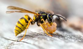 Common Wasp, Vespula vulgaris Scavaging old pear fruit stock image