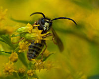The common wasp, Vespula vulgaris Stock Photo
