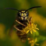 The common wasp, Vespula vulgaris Royalty Free Stock Image