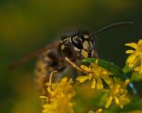 The common wasp, Vespula vulgaris Royalty Free Stock Images