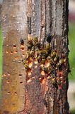 Common Wasps eating sap Stock Images