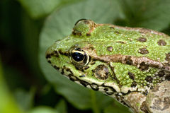 Common water frog Stock Image
