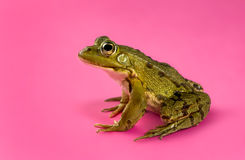 Common Water Frog royalty free stock photo