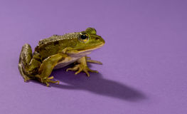 Common Water Frog Royalty Free Stock Photos