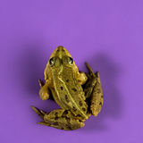 Common Water Frog Royalty Free Stock Image