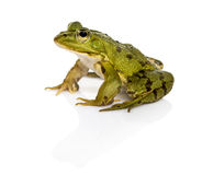 Common Water Frog in front of a white background Royalty Free Stock Images