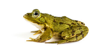 Common Water Frog in front of a white background Royalty Free Stock Image
