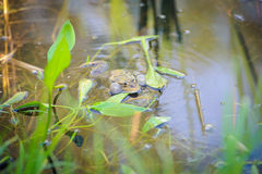 Common Water Frog Stock Photography