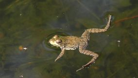 Common water frog stock footage
