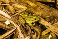 Common water frog in a pond Royalty Free Stock Photos