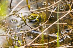 Common water frog in a pond Stock Photos