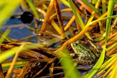 Common water frog in a pond Royalty Free Stock Photo