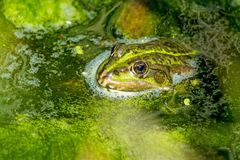 Common water frog in a pond Stock Photography