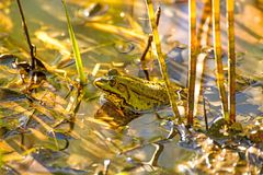 Common water frog in a pond Stock Photo