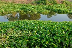 Common water hyacinth, aquatic flower plant, invasive weed. Common water hyacinth, aquatic plant native to the Amazon basin and  highly problematic invasive weed Stock Images