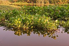 Common water hyacinth, aquatic flower plant, invasive weed. Common water hyacinth, aquatic plant native to the Amazon basin and  highly problematic invasive weed Stock Photo