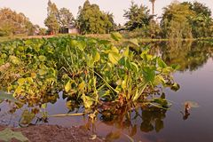 Common water hyacinth, aquatic flower plant, invasive weed. Common water hyacinth, aquatic plant native to the Amazon basin and  highly problematic invasive weed Royalty Free Stock Photo