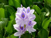 Common water hyacinth. With purple peacock printed petals Stock Images