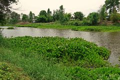 Common water hyacinth,the invasive weed Amazon basin. Most serious aquatic weed in Thailand Stock Photo