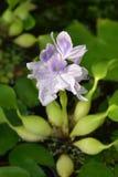 Common water hyacinth. Latin name - Eichhornia crassipes royalty free stock photos