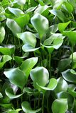 Common Water Hyacinth plants Royalty Free Stock Photography