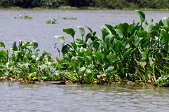 Common water hyacinth Royalty Free Stock Photo
