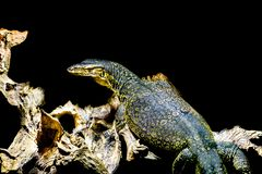 Common water monitor isolated on a black background, big tropical lizard from Asia. A Common water monitor isolated on a black background, big tropical lizard stock image