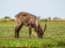 Common waterbuck Stock Photo