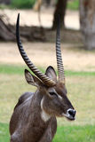 Common Waterbuck bull (Kobus ellipsiprymnus) Stock Image