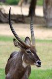 Common Waterbuck bull (Kobus ellipsiprymnus) Stock Image