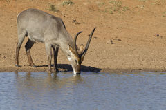 Common Waterbuck drinking, South Afr. Male Common Waterbuck (Kobus ellipsiprymnus) drinking water from a natural pan in South Africa's Kruger Park Stock Photography