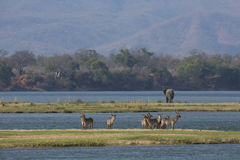 Common Waterbuck and elephant by the Zambezi river Royalty Free Stock Image