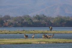 Common Waterbuck and elephant by the Zambezi river Royalty Free Stock Image
