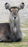 Common waterbuck 1 Stock Images