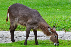 Common waterbuck (Kobus ellipsiprymnus). Nibbles grass happily Royalty Free Stock Images