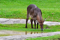 Common waterbuck (Kobus ellipsiprymnus). 